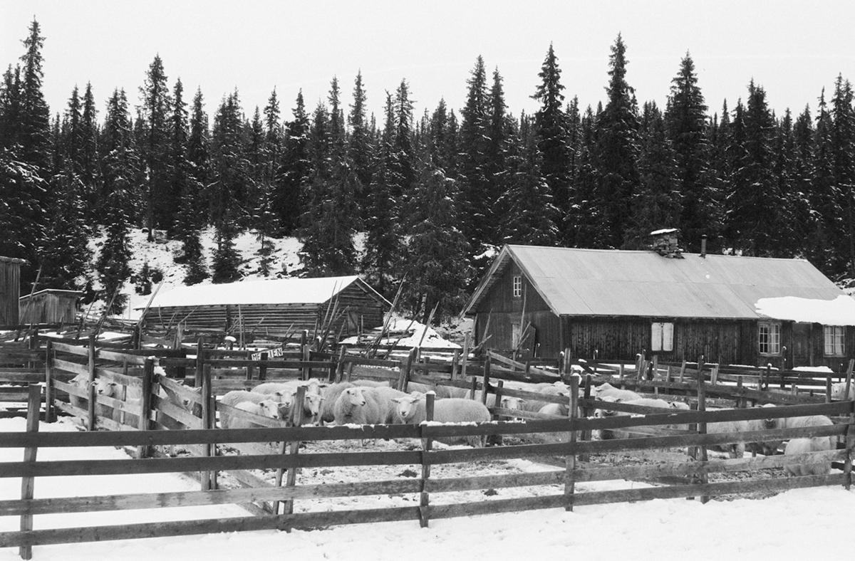 Gammelskolla, sauesamling, 22.09.1969. seterbruk på Hedmarken,