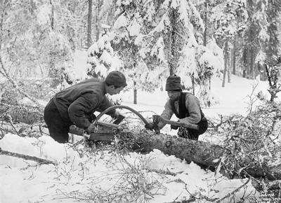 Skogens slitere. Bildet viser to tømmerhuggere i Nordmarka som er i arbeid med bogesaga.