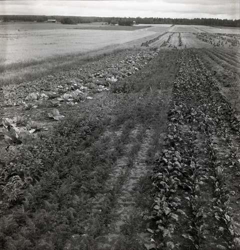 Ett vidsträckt odlingslandskap med långa rader av grönsaksland i förgrunden. I bakgrunden syns nekar med säd eller hö. Unga Odlare, augusti - september 1950.