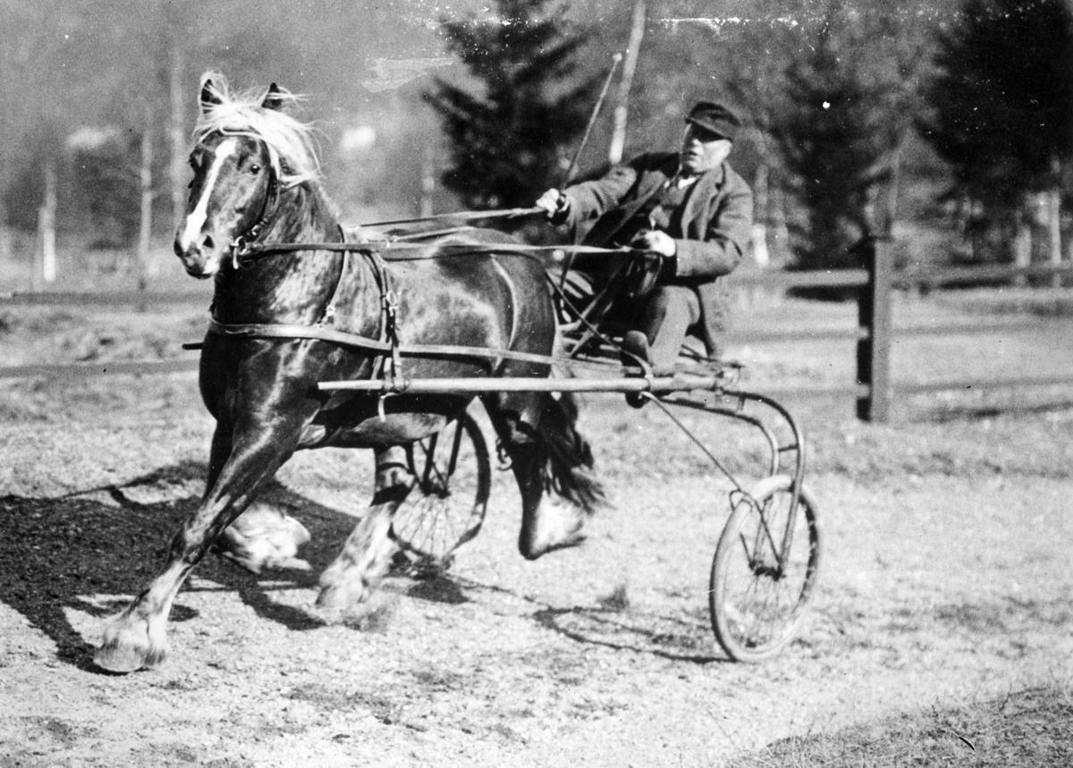 Hest trekker mann i sulky, i trav.