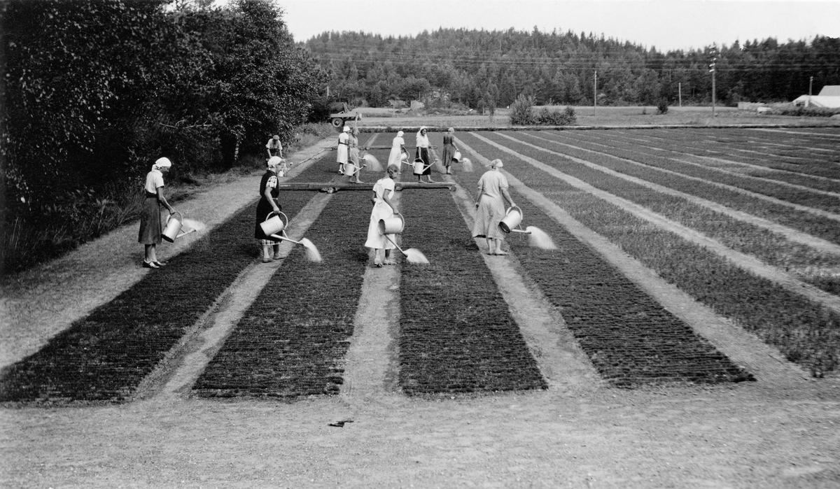 Damer som vanner ved skogplanteskolen på Rore. (Foto/Photo)