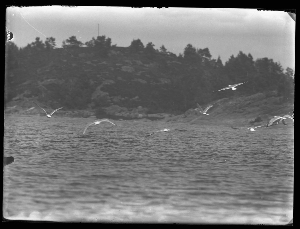 Ett antal måsar flyger över en sjö. I bagkrunden syns klippor.