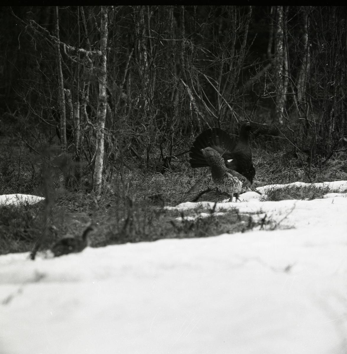 Vid det snöiga skogsbrynet samlas tjädrarna, både de spelande tupparna och hönorna, vid Häggtjärn i april 1976.