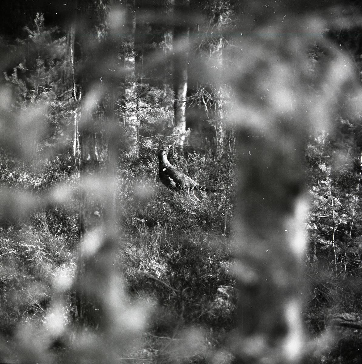 Mellan skogens löv och ris skymtar en ätande tjäder fram vid Häggtjärn i april 1976.