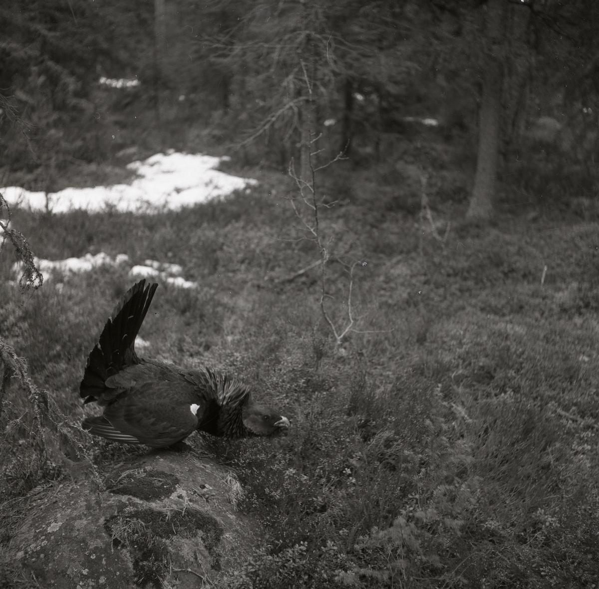 En tjäder med utspärrade stjärtfjädrar som står på en sten i en barrskog 1954.