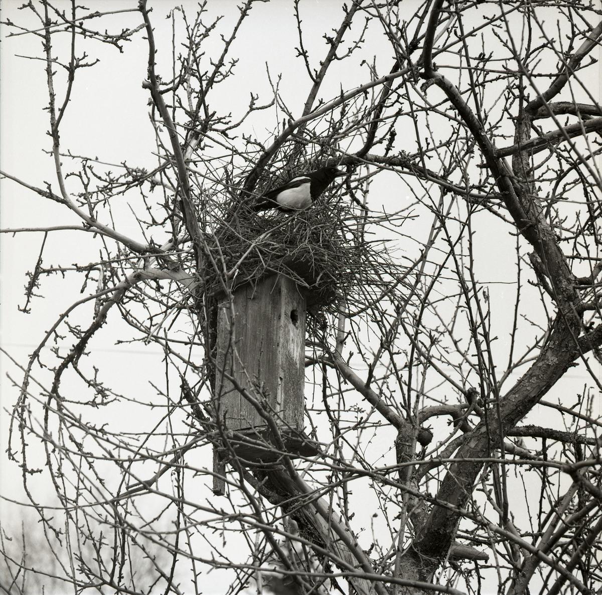 En skata har byggt bo ovanpå en fågelholk under vintern 1961-1962.
