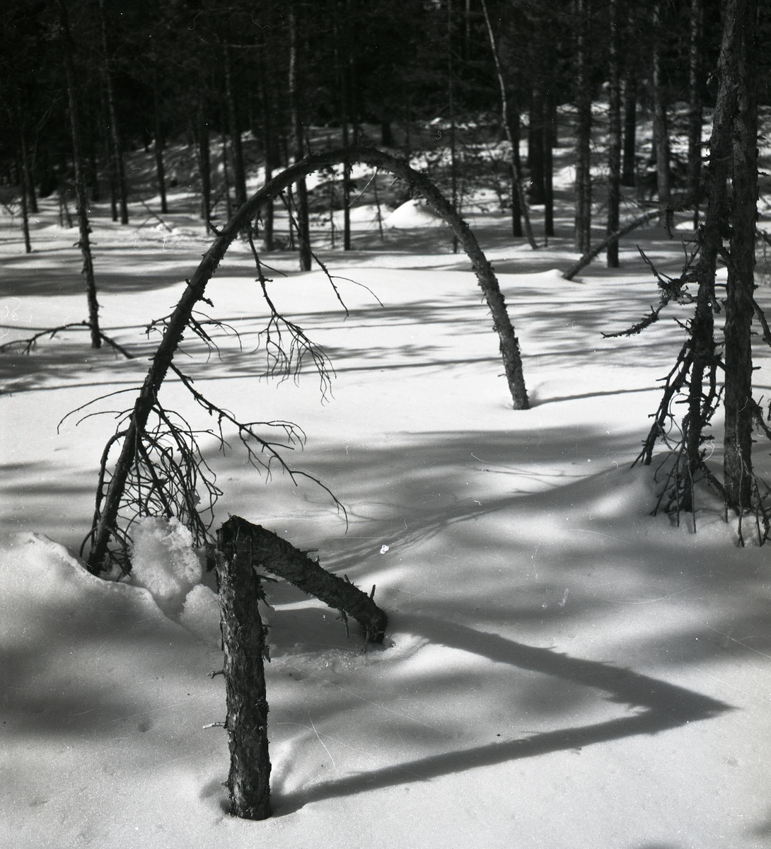 Träd som blivit format som en båge och ger skuggmönster på snön, mars 1951.
