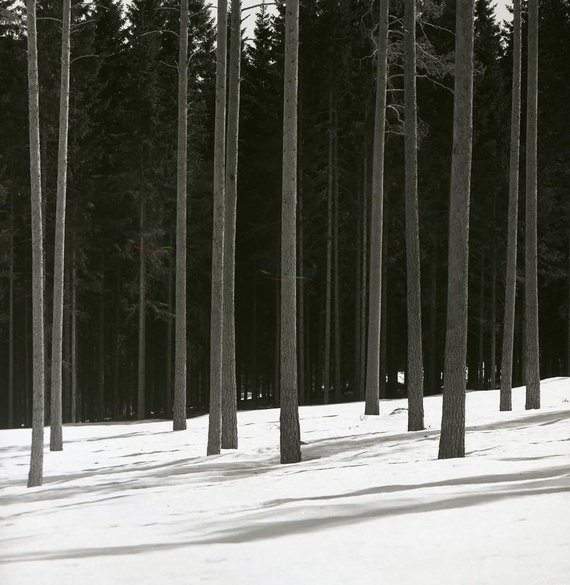 En gles tallskog under snötäcke i april 1951.