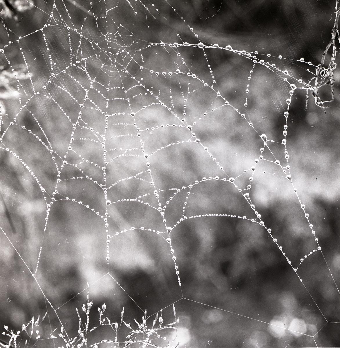 Ett spindelnät med daggdroppar, 1978.