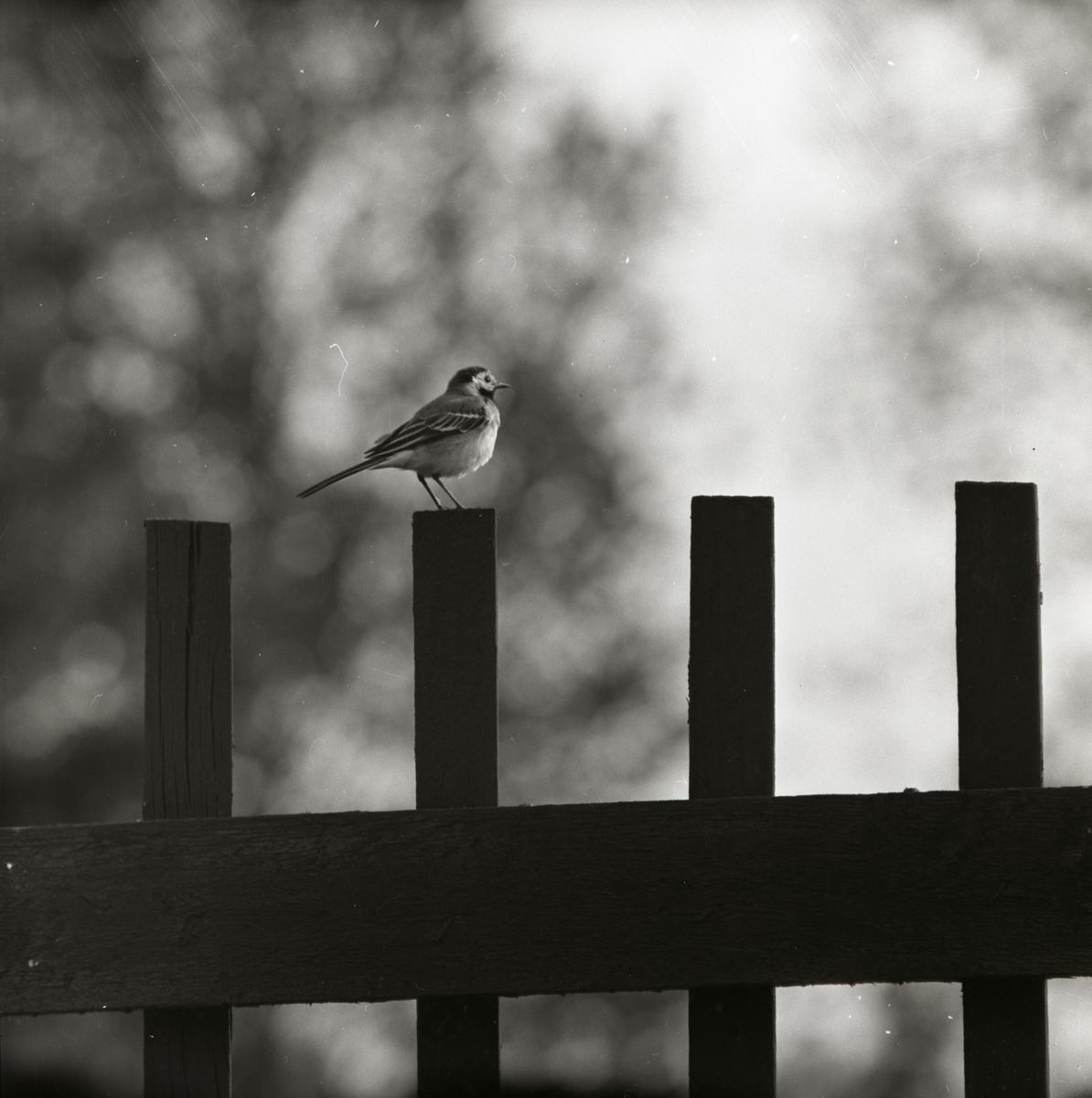 En sädesärla sitter på en staketspjäla den 4 juni 1959.
