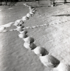 Spår från en älg i töande snö, 7 april 1956.