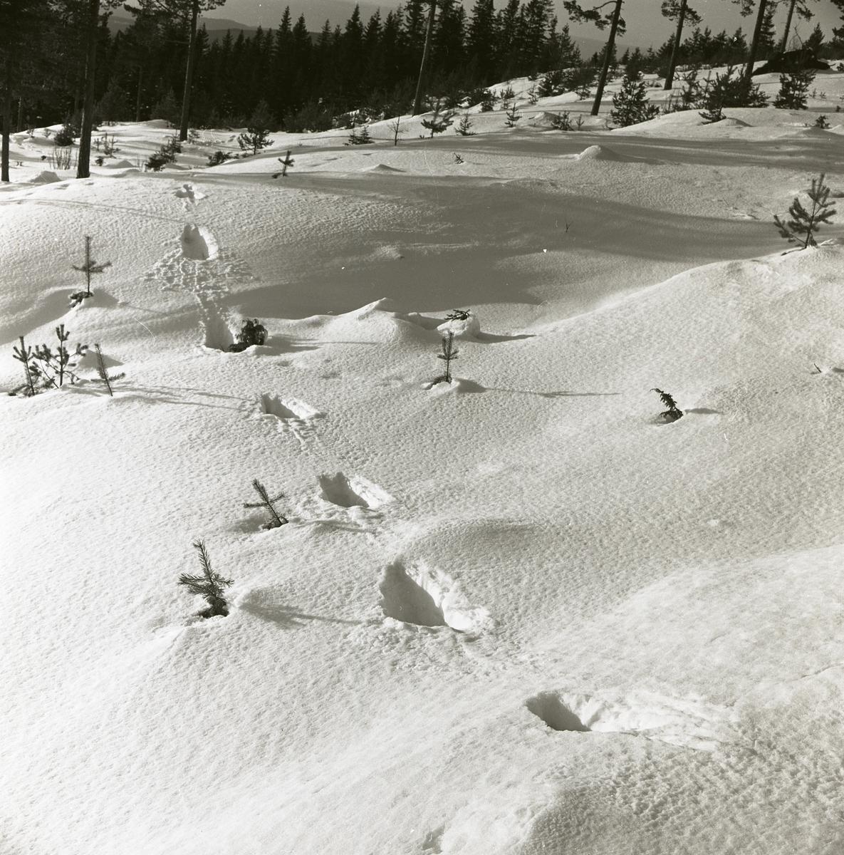 Spår av lodjur i snön vid Skogsberget, februari 1963.