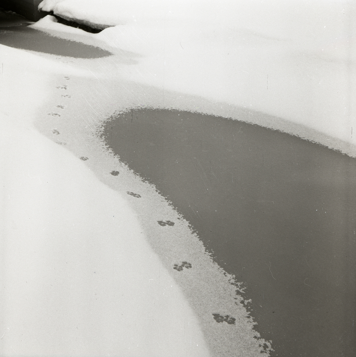 Rävspår i snön intill en vattensamling, 1 februari 1955.