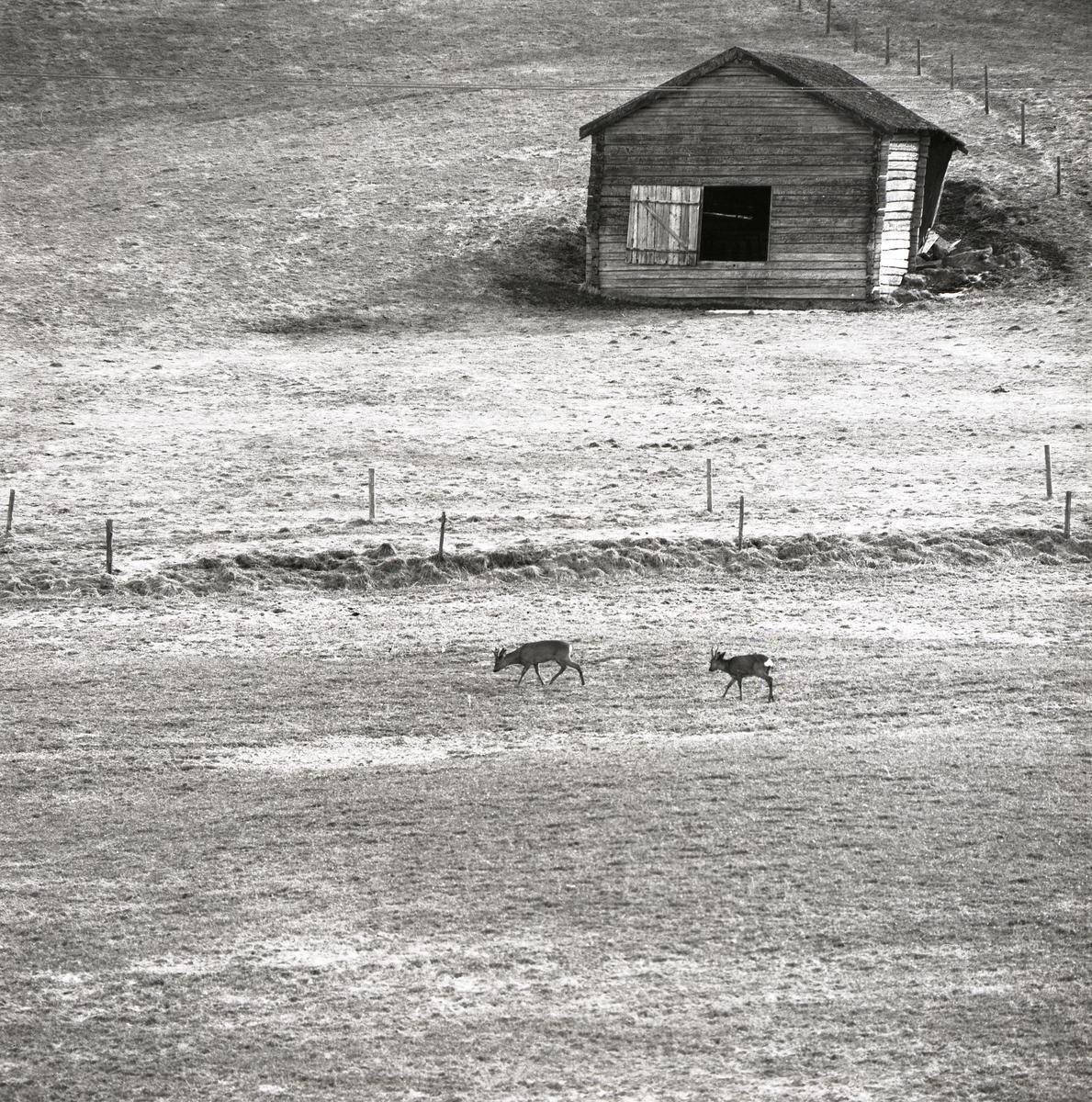 Två rådjur går över en åker med en lada i bakgrunden, Forsa 1971.