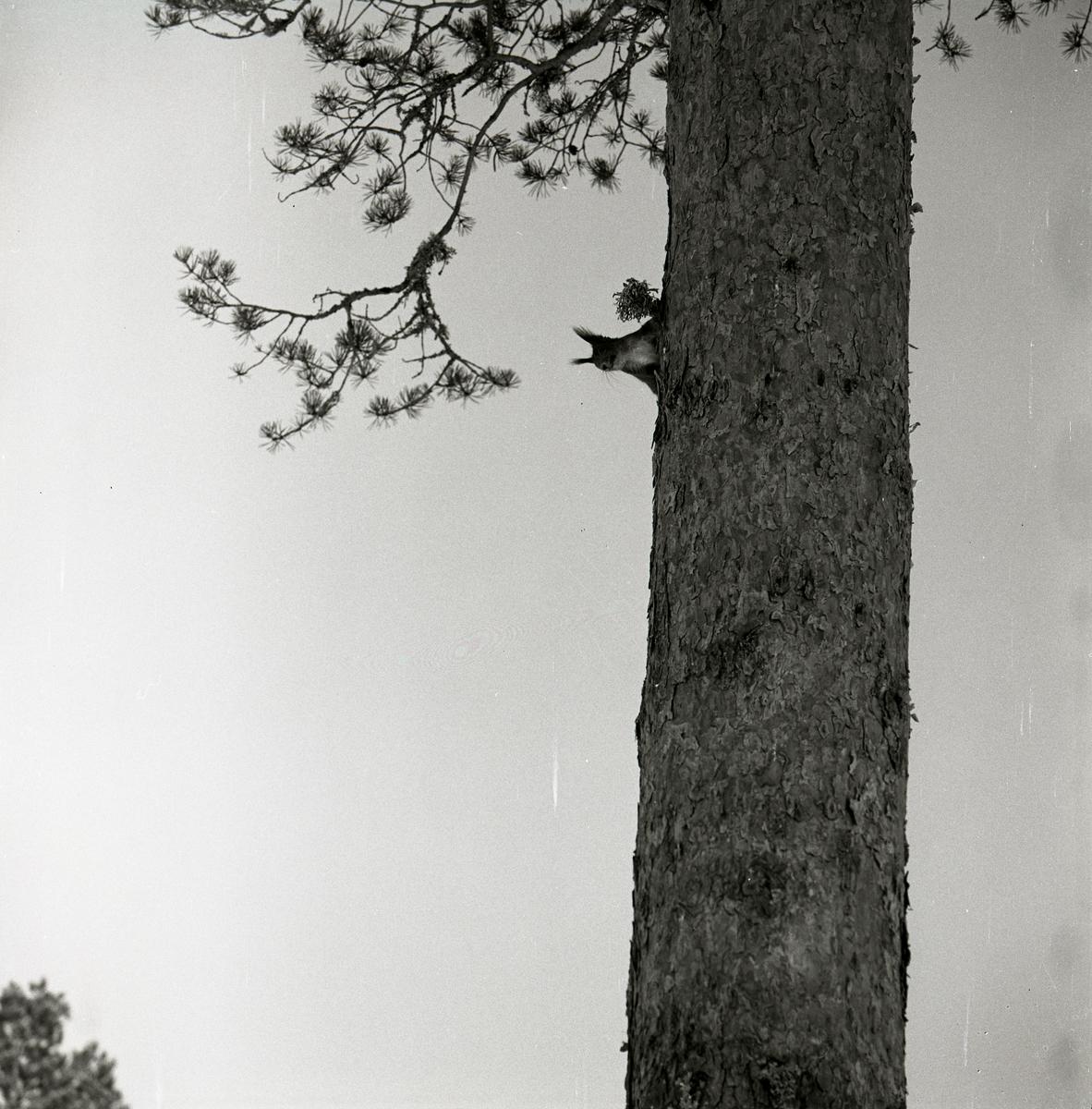 En ekorre klättrar på en tallstam vid Skogberget, våren 1969.