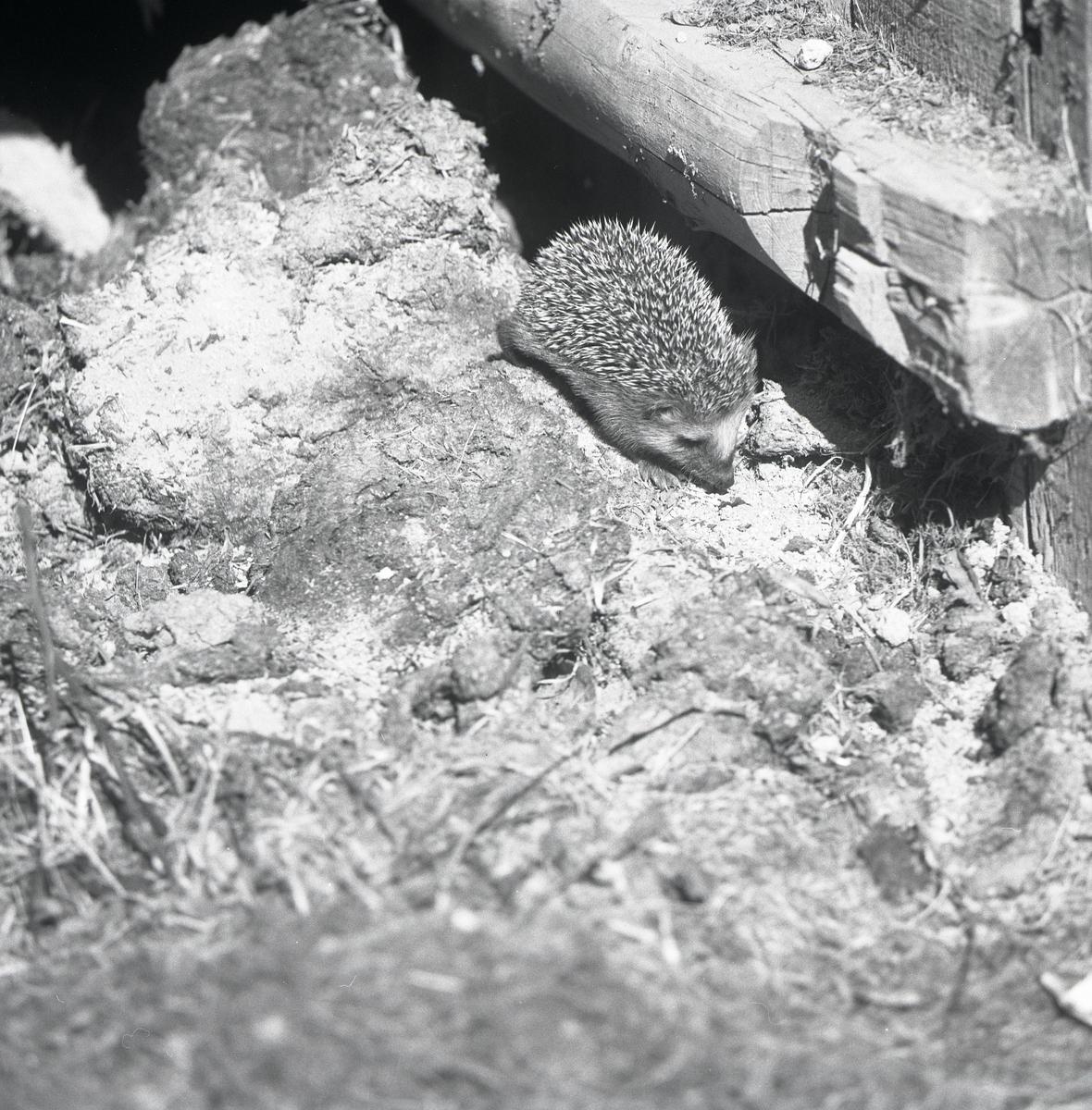 En igelkott står nedanför en trästock i Hertsjö, juli 1975.