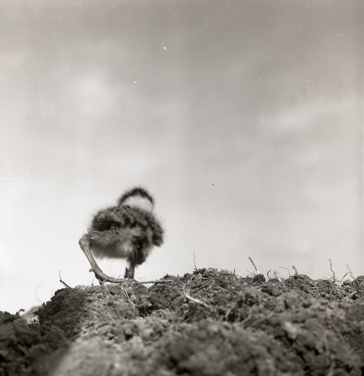 En tofsvipeunge vid Broddens, maj 1961.