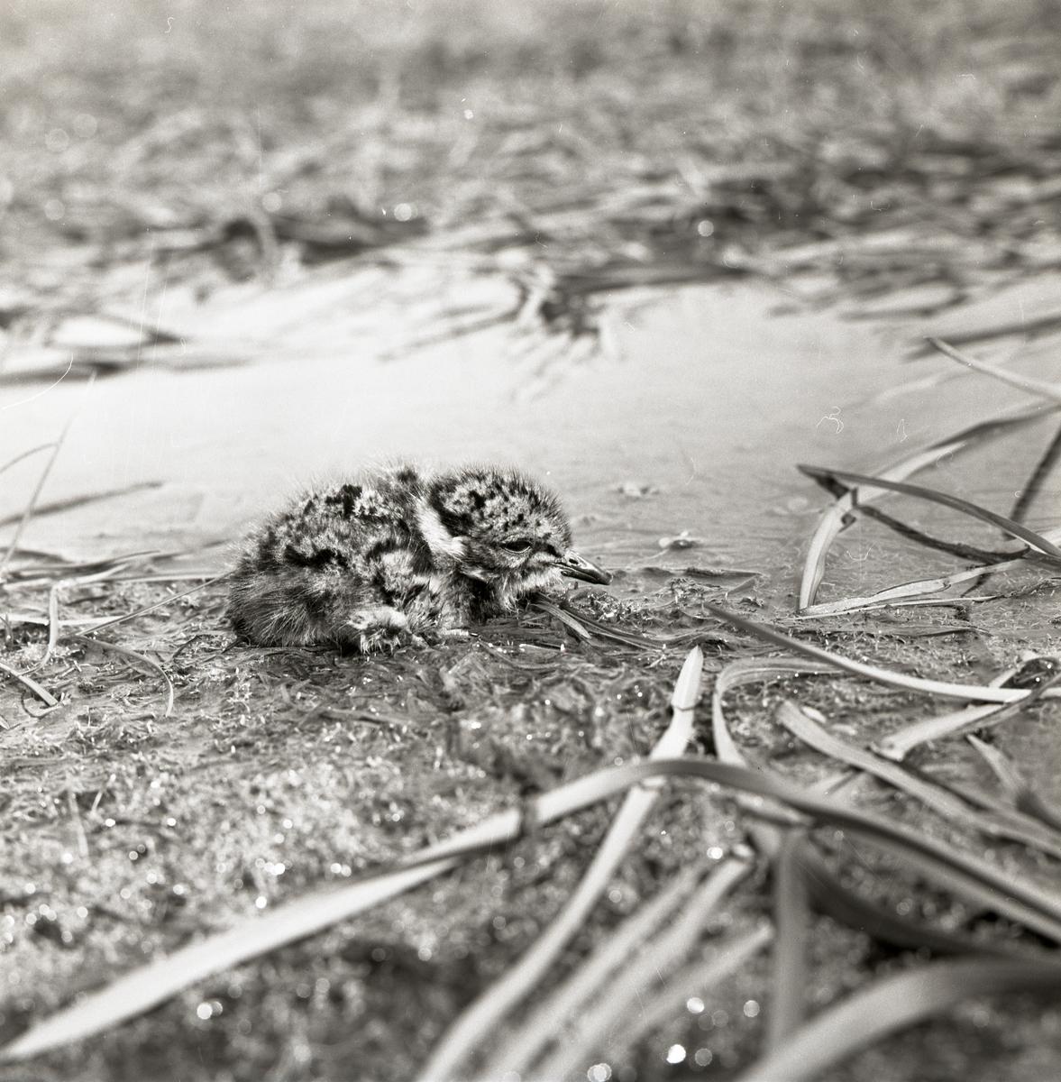 En tofsvipeunge ligger på marken vid Broddens, maj 1961.