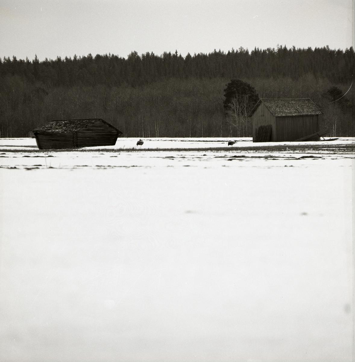 Två tranor står på snötäckt mark mellan två byggnader, vårvintern 1971.