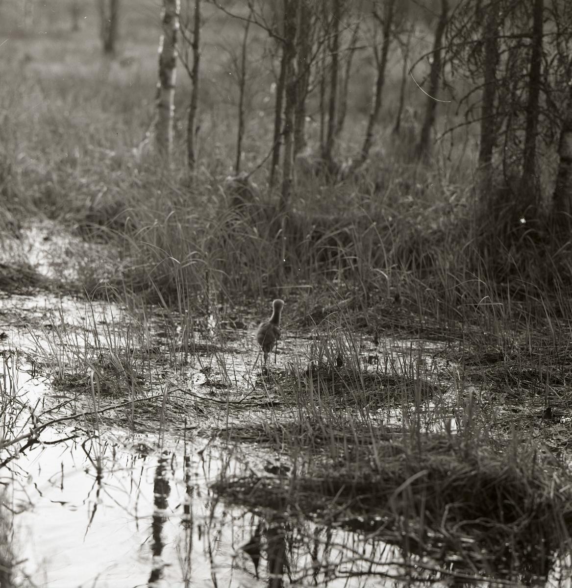En tranunge går i vatten intill en skog, 24 maj 1965.