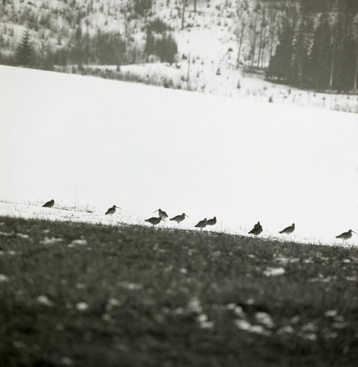 En flock spovar står på snötäckt mark, vårvintern 1971.