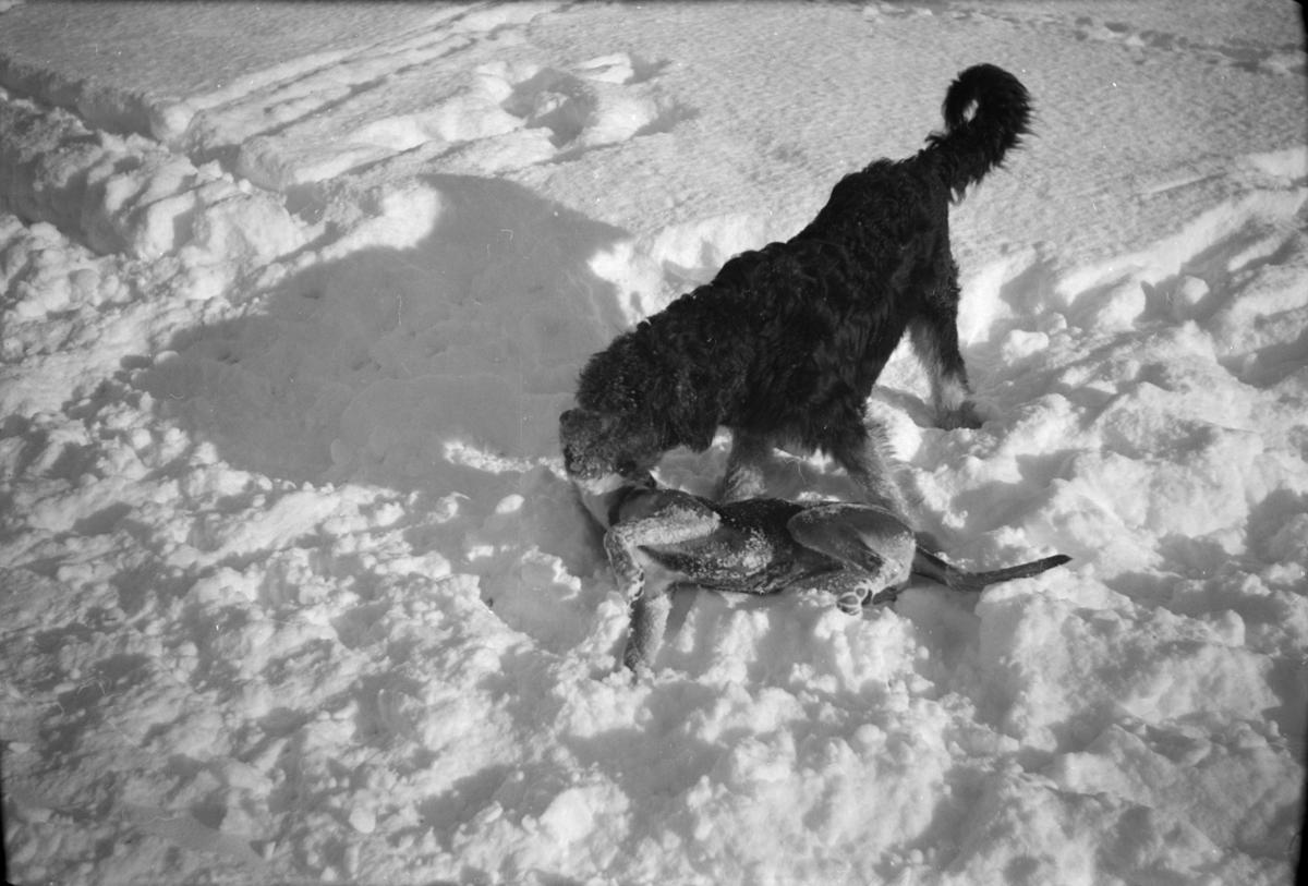 To hunder leker i snøen