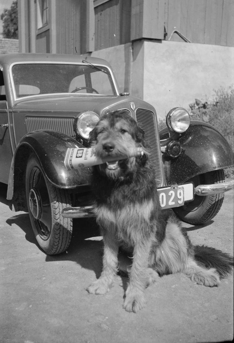 Hund med avis fremfor DKW-personbil