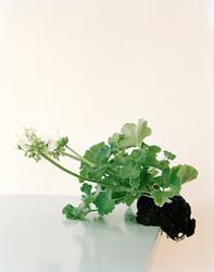 Restricted Flora (6) [Digital print/trykk]