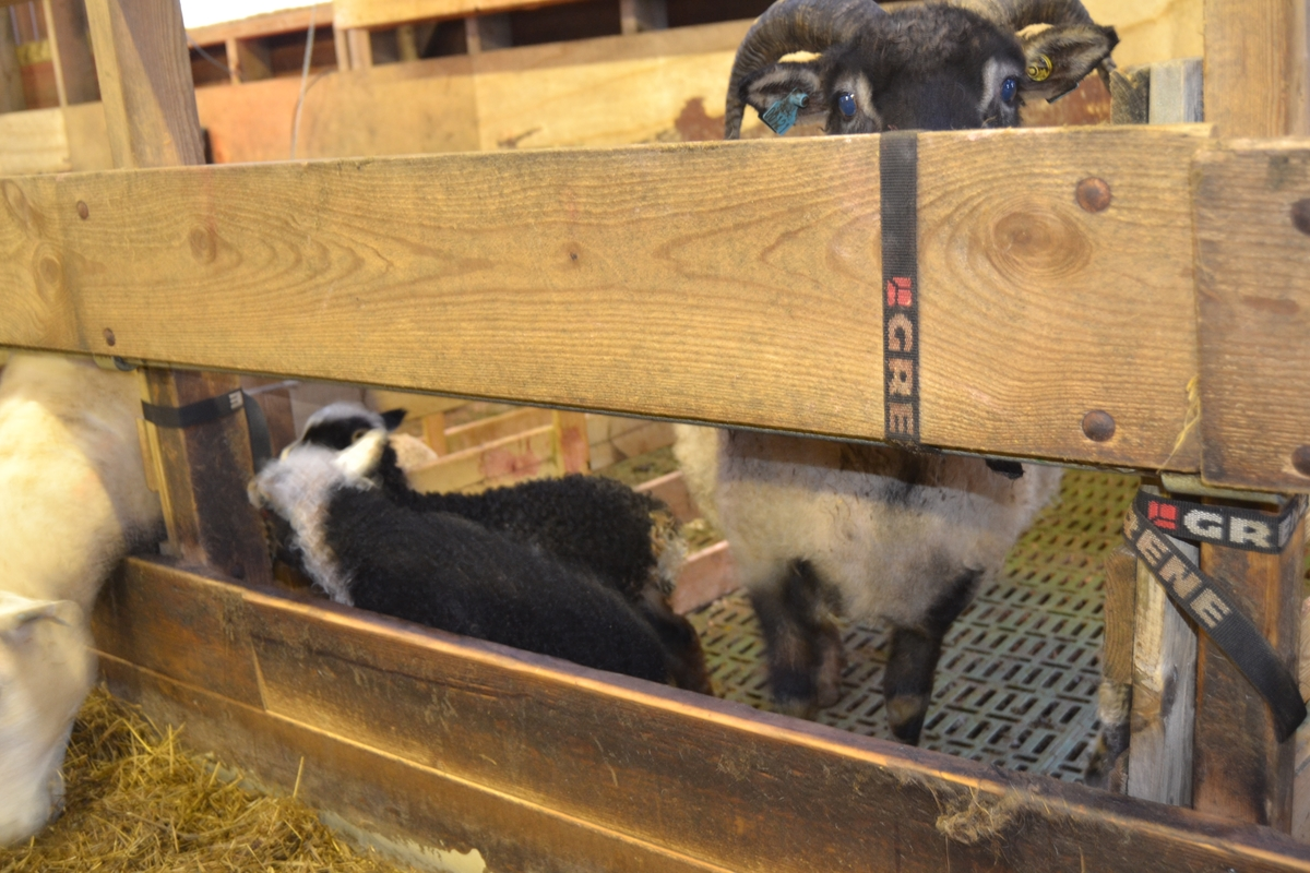 Lam og sauer i sauehuset til Asbjørn Haga i april. Bilde nr. 1, 3, 4 og 5: Det blei laga lammegjømme til de nye lammene. I lammegjømmet har lammene åpninger slik at de kommer til sine mødre, men mødrene kommer ikke til dem. Bilde nr. 7-8: Kopplam i kopplamgarde, der er blant annet en skotsk type. Bilde nr. 14: Spæl med horn. Det mørkeste lammet ble satt under en annen sau. Bilde nr. 17 fra trappa til lemmebua og med på kopplamma. Bilde nr. 18 såre og tørre arbeidshender er vanlig under lemming. Bilde nr. 19-24: Ro i sauehuset. Lam som nyter varmen til moren og andre sauer ved å ligge oppå. Bilde nr. 25: drikkestasjon med kuleventiler med 3 uttak og slange til miksemaskinen som mikser melkeerstatningen selv. Bilde nr. 27: nyfødt lam fra Svartfjes.