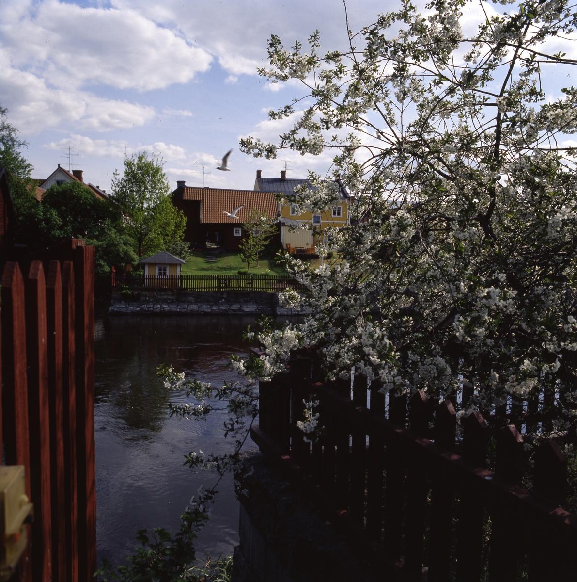 Blommande fruktträd på Västerlånggatan 3. Utsikt över Arbogaån och ågårdar på Storgatan.