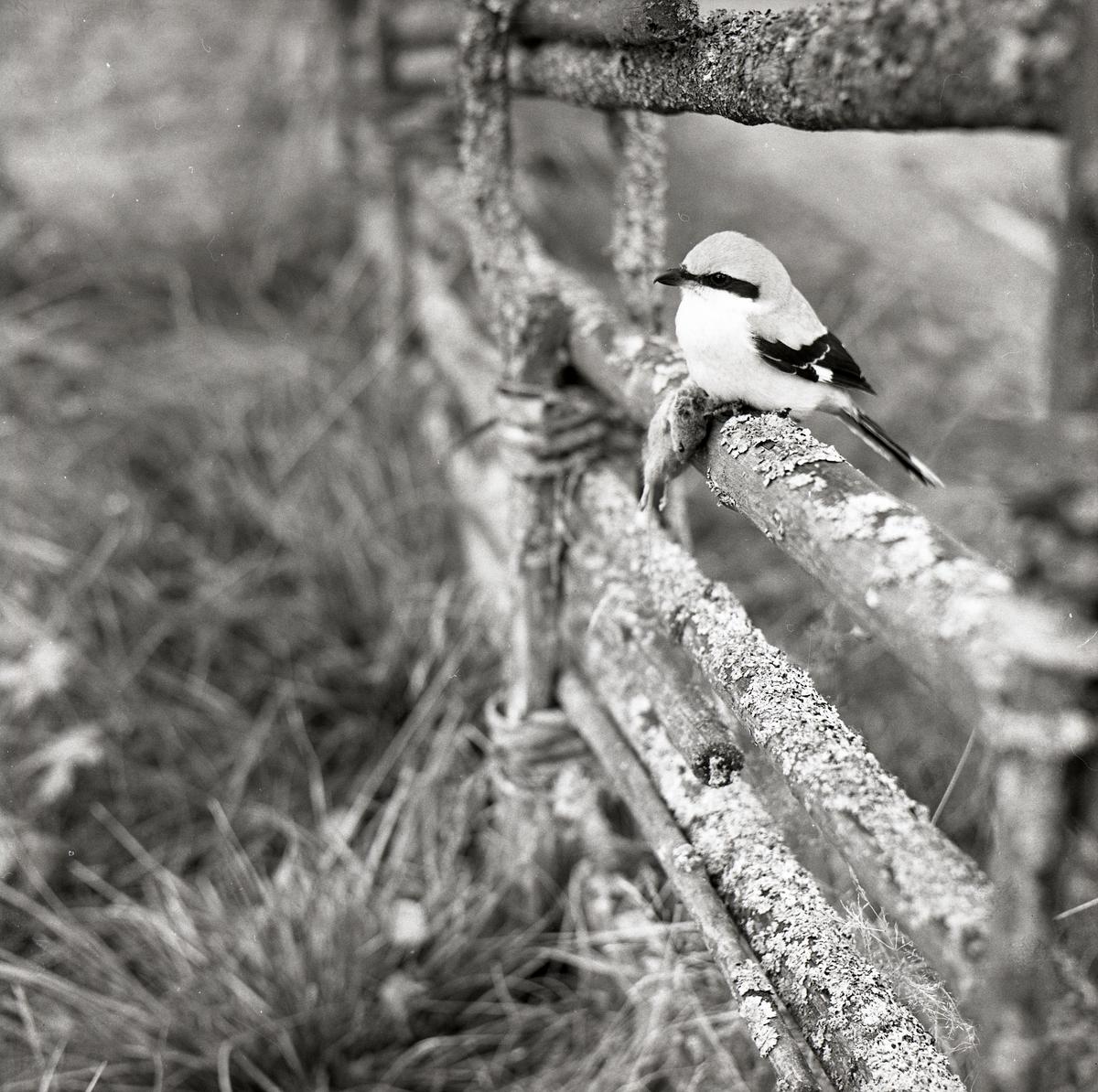 En varfågel sitter på ett staket, 1968.