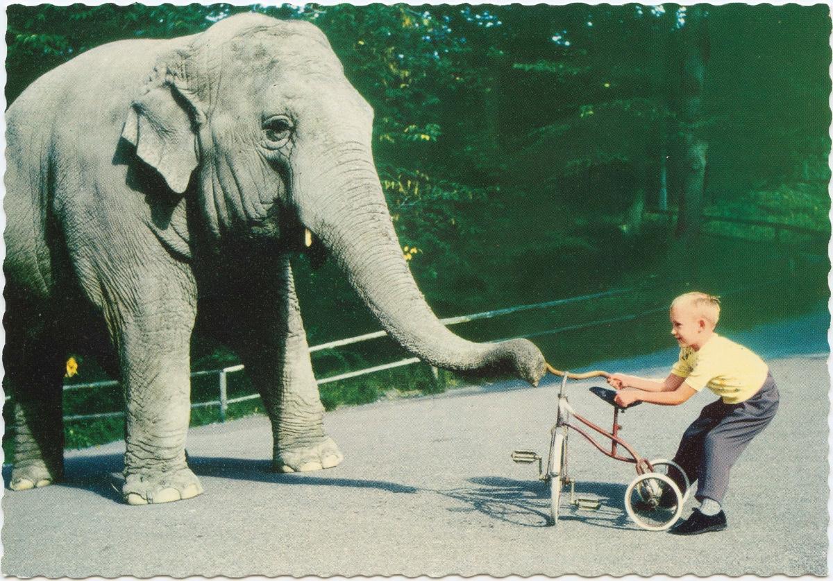 """Vykort med motiv från Skansen. """"Elefanten Bambina är lekfull"""". Elefant i dragkamp med en pojke om en trehjuling."""