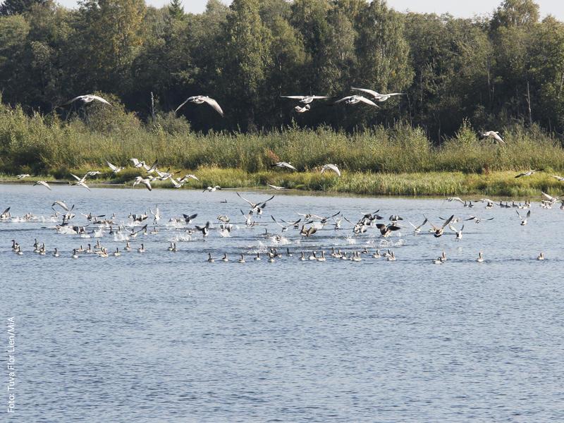 Foto av en flokk med grågjess (Foto/Photo)