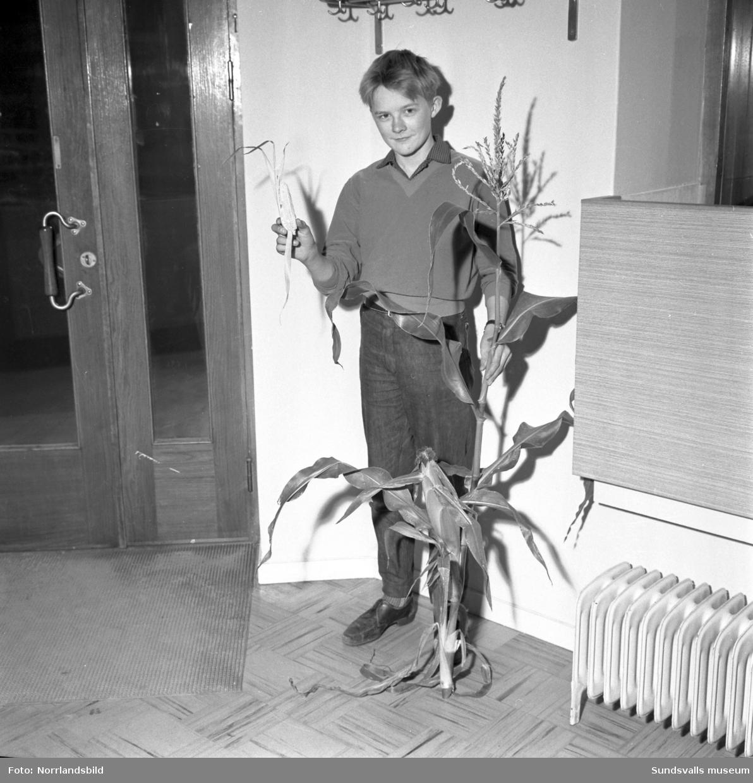 En pojke i Sörberge visar upp en hemmaodlad majskolv.