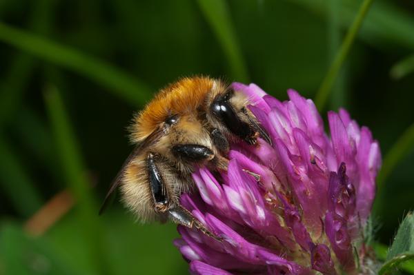 Foto av en bakkehumle på blomst. Foto/Photo