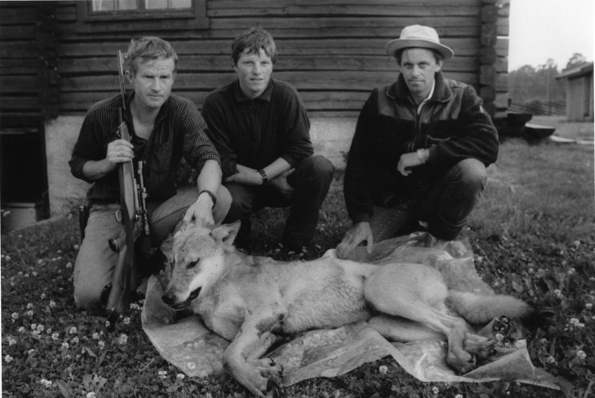 Ulvedrapet i Engerdal. Den døde ulven