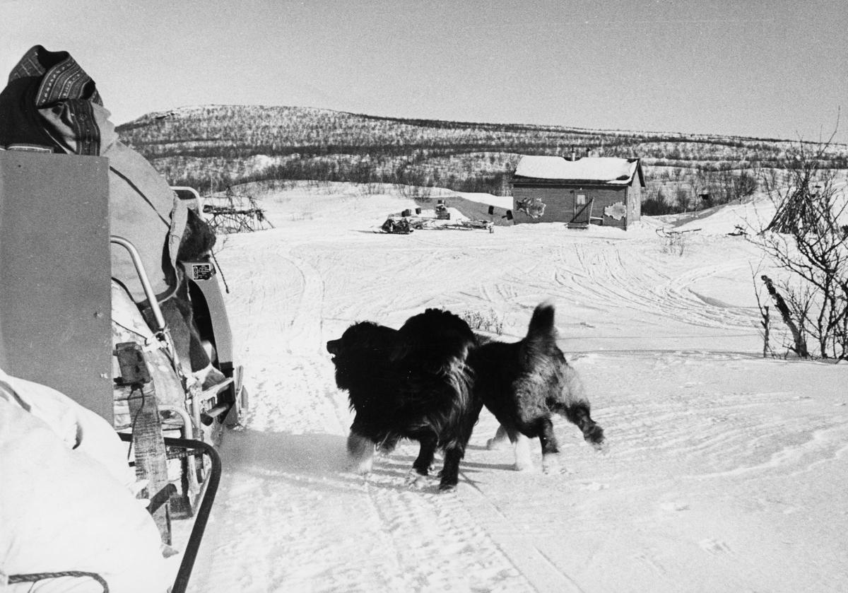 transport, snøscooter, mann, postsekker, hunder, posten i Nord