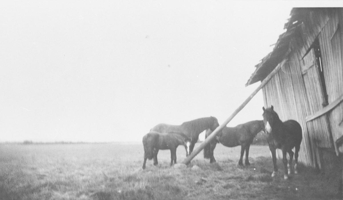 Hester ved låve på Fautøya.