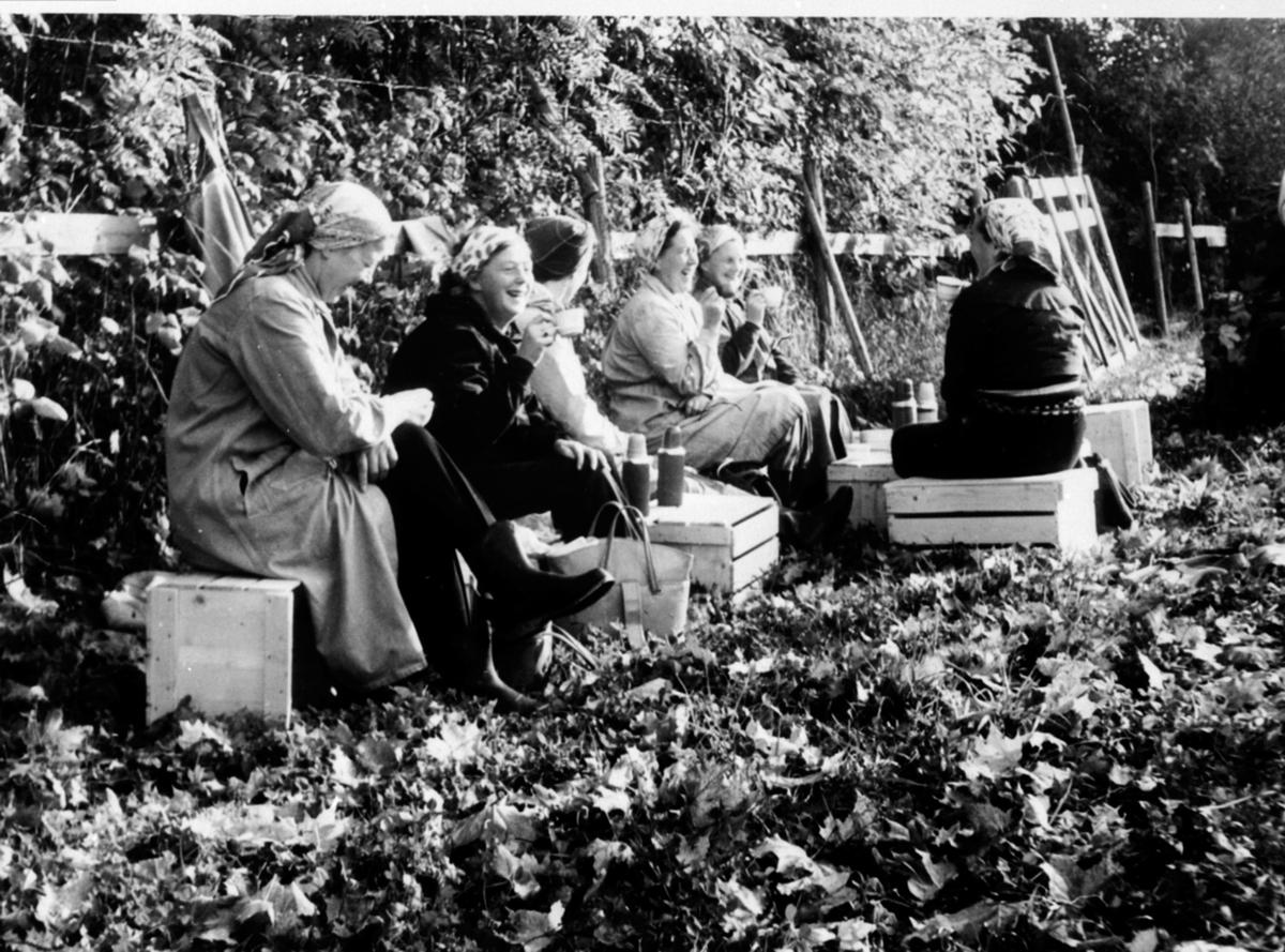 Kaffepause i epleplukkinga. Gruppe damer på Hoel gård, Nes, Hedmark.