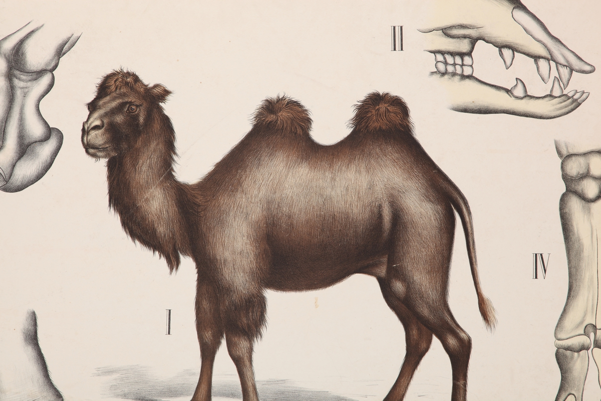 Kamel, hover og kranium