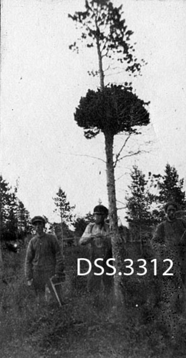 """Heksekostdannelse på furu.  Forholdsvis """"skrinn"""" furu med tett grein- og nåledannelse omtrent på midten.  Treet vokser i myrlandskap med andre furutrær.  Tre unge menn, hvorav den ene holder en tømmerklave, er oppstilt ved treet.  Fototrafiet er tatt i forbindelse med skogtaksering i 1917."""