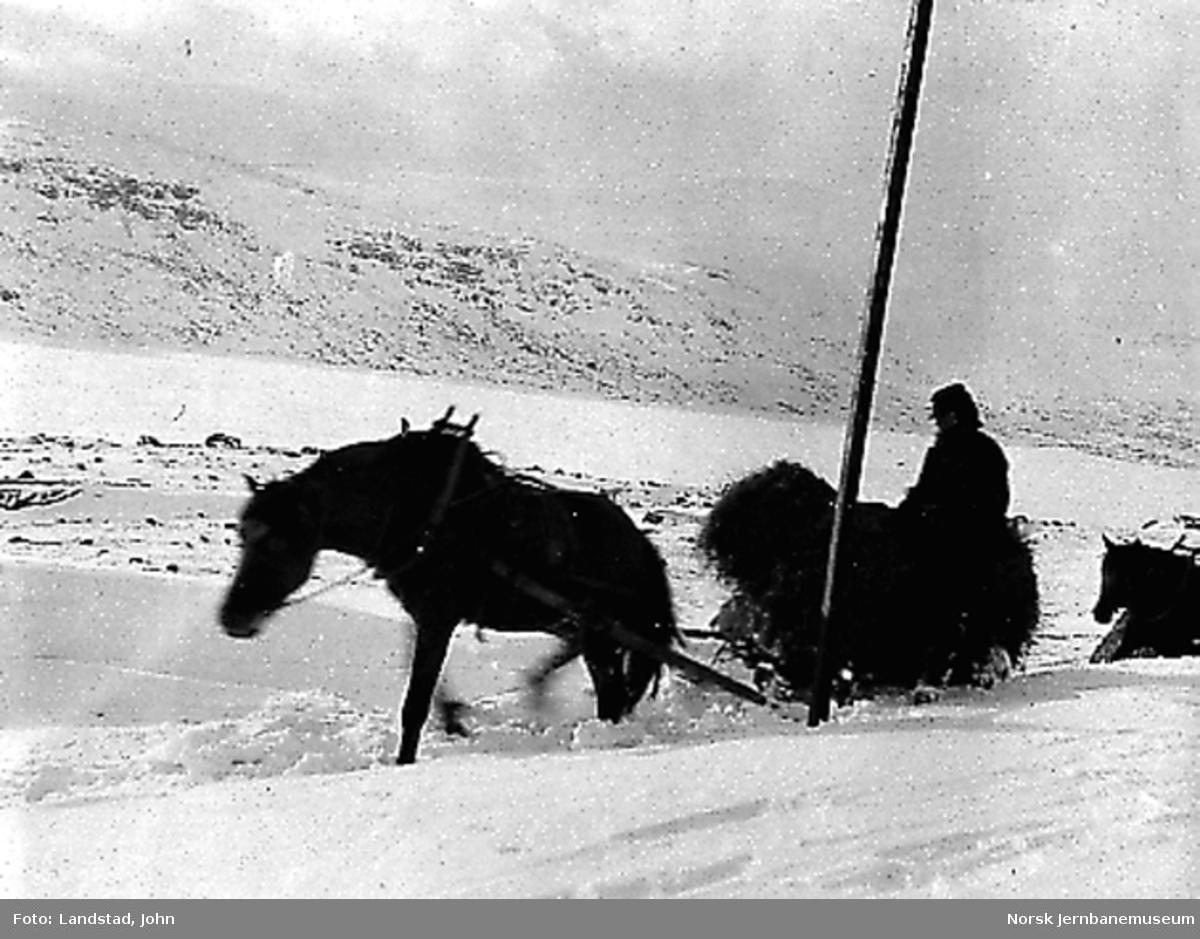 Kjøring av høy til Finse : hest med slede og kjørekar