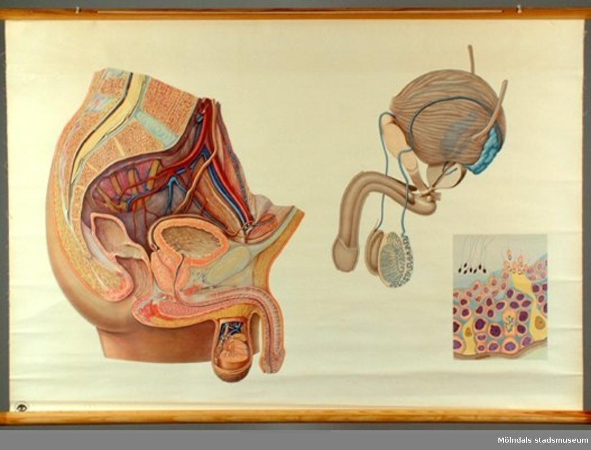 Anatomisk karta över mannens könsorgan. Till undervisning.
