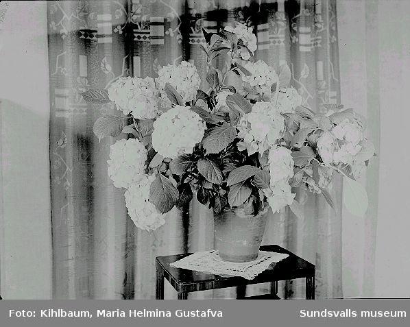 Krukväxt (troligen Hortensia) på ett bord.