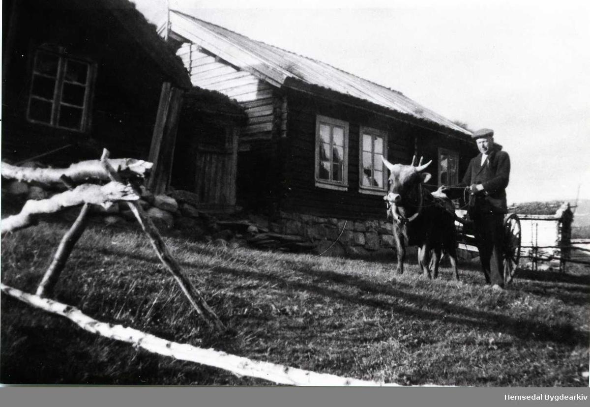 Martin Lauvset med køyreokse på Lauvset i Hemsedal, ca. 1950