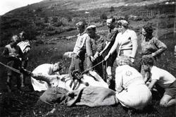 Dyrlækjarhandsaming av kyr på Ulsåkstølen i Hemsedal i 1942.