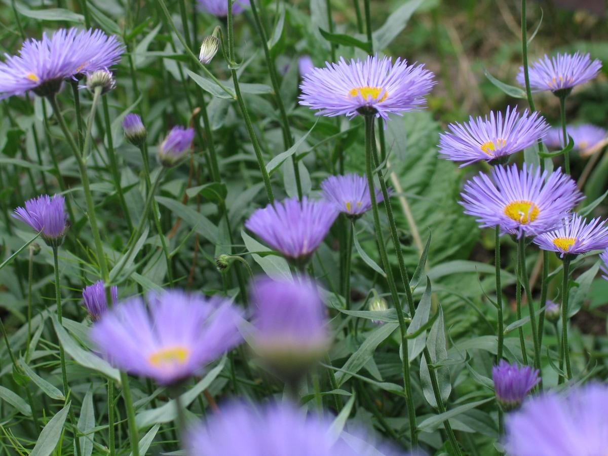 DOK:2006, Bjerkebæk, hage, blomster, asters,
