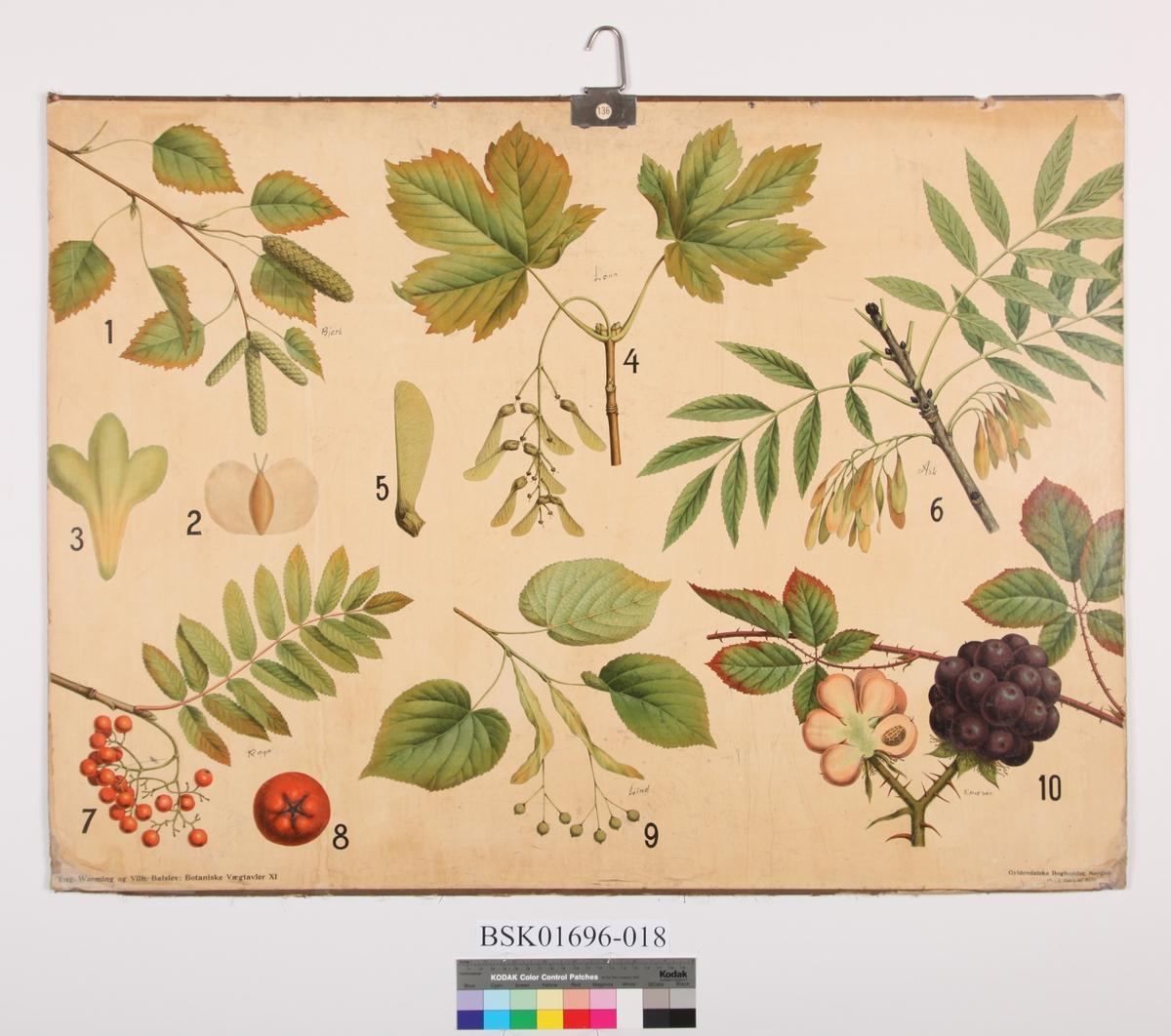 Blad og frukt av bjerk, lønn, ask, rogn, lind og bjørnebær